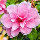 After The Rain - Pink Flower by mcstory
