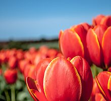 Tulips by Candice84