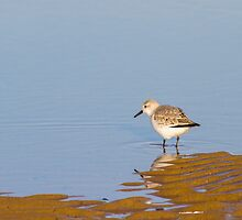 Sanderling (Calidris alba) by chris2766