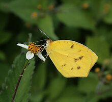 Yellow Butterfly on a White Flower by rhamm