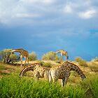 Four Giraffe (Giraffa camelopardalis) feeding. by Shannon Benson