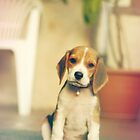 Beagle puppy by Sandra Kemppainen