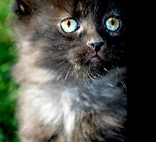 Bright Eyes the Kitten / Cat by AshleyNicoleH