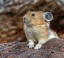 Rock Rabbit by JamesA1