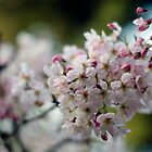 Pink and White Cherry Plum Flowers — Beautiful Photography Prints / Posters by Erik Anderson