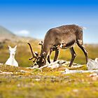 Reindeer in Norway by Sandra Kemppainen