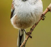 Long Tailed Tit by Mark Hughes
