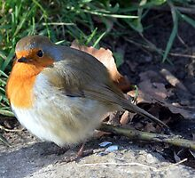 Robin at Bradford on Avon, Wiltshire, UK by Photography  by Mathilde