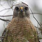 red shouldered hawk by Dennis Cheeseman