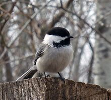 Black Capped Chickadee on a Fence by rhamm
