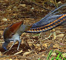 Superb Lyrebird by Tom Newman