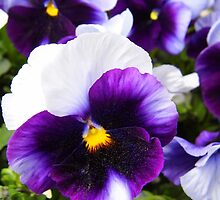 Pansies by WildestArt