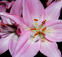 Lily In Pink Still Life by WildestArt
