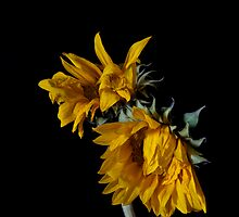 Wilting by Jeffrey  Sinnock
