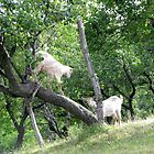 Even Goats Have Fun by Dennis Melling