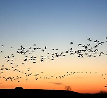 Grey cranes returning to their sleeping quarters at sunset by Christa Knijff