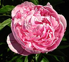 Pink Peony by GoddessChrissy