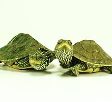 Two Little Map Turtles by Seth LaGrange