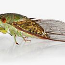 Cicada by jimmy hoffman