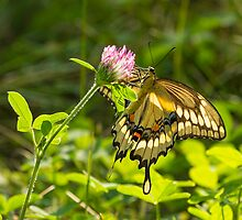 Giant Swallowtail On Clover 3 by Thomas Young