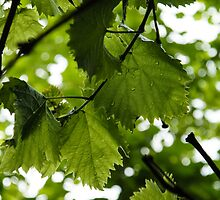 Green Summer Rain with Grape Leaves by Georgia Mizuleva