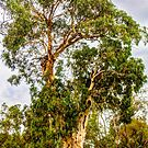 Candlebark. by Bette Devine