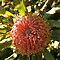 Banksia Bunch