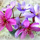 Hepatica beauties by ©The Creative  Minds