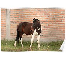 Brown and White Horse Grazing Poster