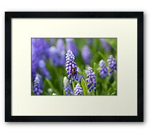 Grape hyacinth with bee in spring Framed Print