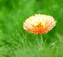 Orange spring flower by kawing921
