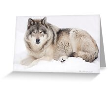 ..Wolf..singing in the cold Greeting Card
