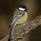 Great tit - I (Parus major Linnaeus) by Peter Wiggerman