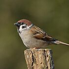 Tree sparrow - II ( Passer montanus) by Peter Wiggerman