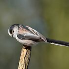 Long tailed tit - III (Aegithalos caudatus) by Peter Wiggerman
