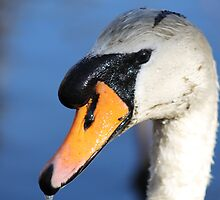 Swan Close Up by LisaThomasPhoto