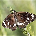 Common crow Butterfly by Helenvandy