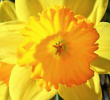 Daffodil by gt6673