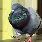 Rocky's Story - Rescued Rock Pigeon NZ by AndreaEL
