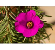 Happily, Vibrantly Pink With a Golden Yellow Center Photographic Print