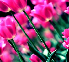 Tulips by reecejustin