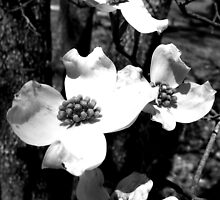 Dogwood flower black white by andreaanderegg