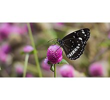 Common Crow Butterfly Photographic Print