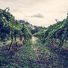 A Vineyard by yolanda