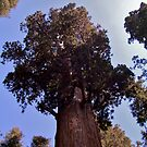 General Sherman tree by Nancy Richard