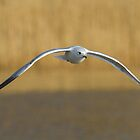Common Gull.. by Lauren Tucker