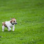 Parsons Jack Russell by ThomasBlake