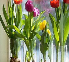 Growing tulips in winter — equanimity when a photo is 'borrowed' by Jan Timmons