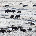Bison grazing in an early winter snow fall by Jim Stiles