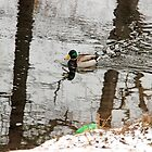 Swimming duck and reflections from the trees by henuly1